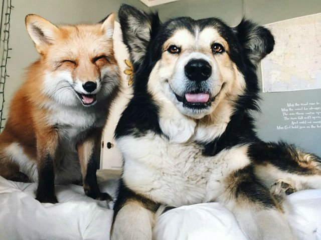[FOTO] Prietenie incredibila intre o vulpe si un caine. Imaginile iti vor topi inima