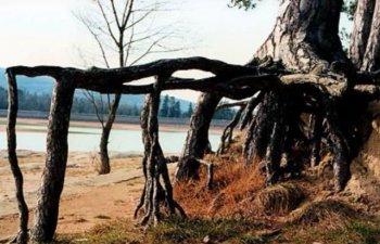 Imaginile care te vor uimi! Cei mai CIUDATI copaci din lume