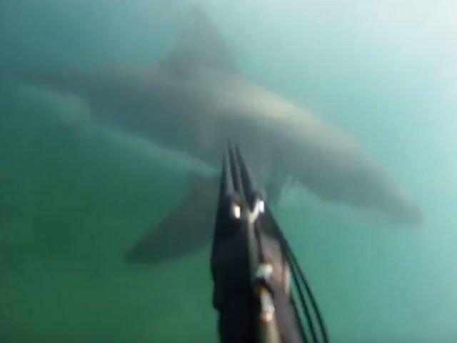 [VIDEO] Momentul terifiant in care un scufundator a fost atacat de un rechin alb urias