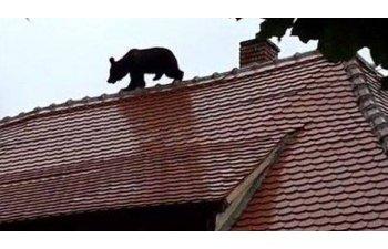 Seful IPJ Sibiu raspunde criticilor presedintelui Iohannis: Ursul a fost prima data impuscat cu tranchilizant, dar nu si-a facut efectul