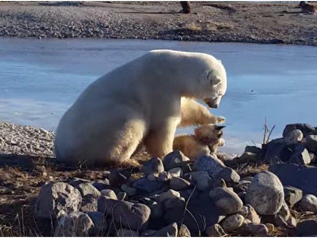 [VIDEO] O prietenie mai... altfel. Un urs polar mangaie un caine