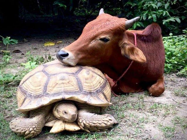 [FOTO] Cum au ajuns o broasca testoasa si un vitel sa fie prieteni de nedespartit