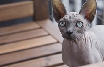 [VIDEO] A platit 700 dolari pentru o pisica din rasa Sfinx. Ce a descoperit mai tarziu