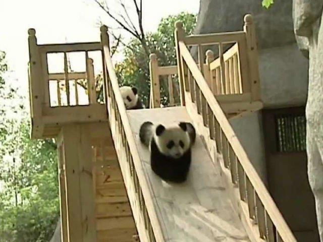 VIDEO] Cel mai tare loc de munca: ai grija de ursi Panda si esti platit sa te joci cu ei