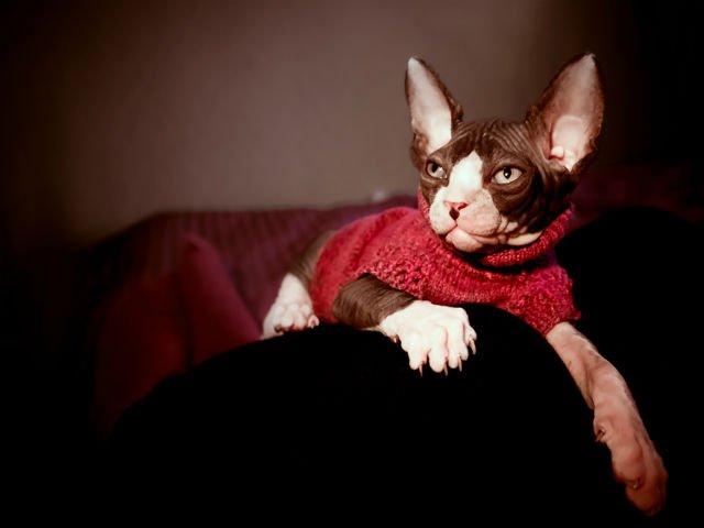 "[FOTO] Acest barbat si-a tatuat pisica din rasa Sfinx. ""Acum imi pare rau."""