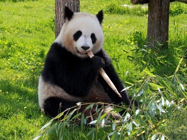 Motivul pentru care ursii panda au blana alba cu negru