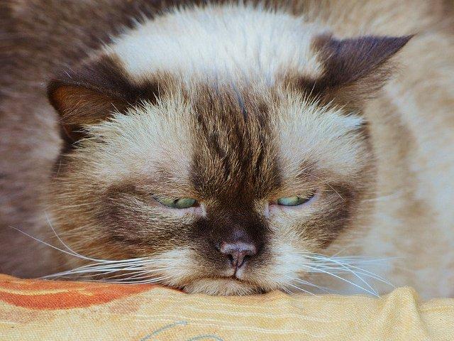 Top 10+2 cele mai morocanoase pisici din lume care rivalizeaza cu Grumpy Cat