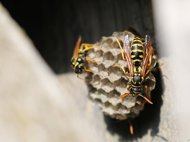 Unele specii de albine au inceput sa foloseasca plasticul pentru stupi
