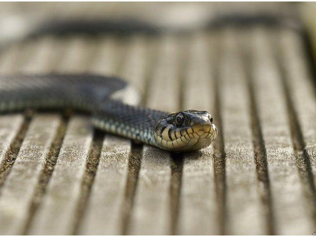 [Video] Unele specii de serpi au capacitatea de a zbura