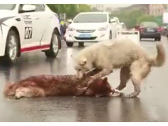 VIDEO Nu a vrut sa-si abandoneze nicio clipa prietenul lovit de masina