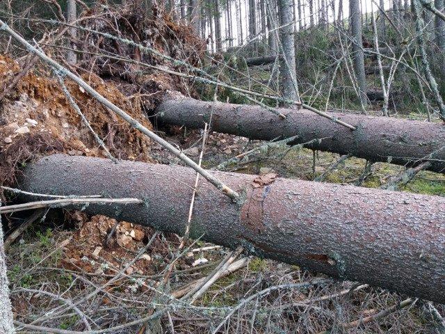 Hotii de lemne din Suceava au scos din radacini peste 100 de brazi, pentru a simula un dezastru natural Incidentul, filmat cu drona