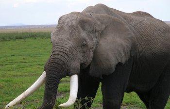 Un vanator a murit dupa ce un elefant a cazut peste el