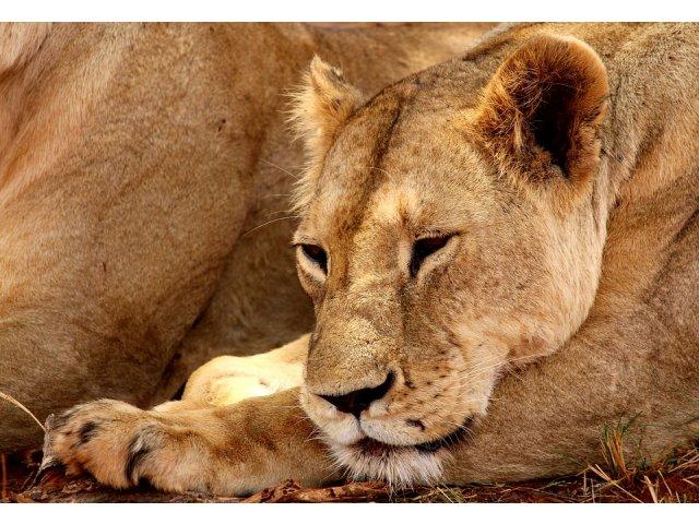 India: o leoaica invata sa isi creasca puii uitandu-se la filme documentare