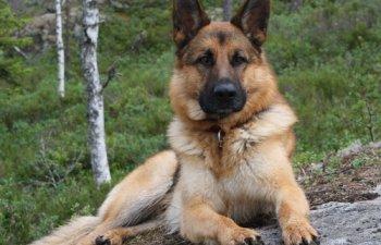 Vaslui: Inspectoratul pentru Situatii de Urgenta a scos la licitatie un caine