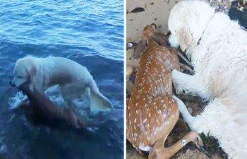 [VIDEO] Clipul care a emotionat o lume intreaga: un caine a salvat un pui de caprioara de la inec