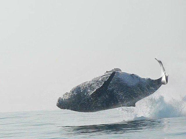 [VIDEO] Superb! Momentul in care o balena de 40 tone face un salt complet