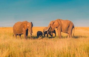 6 curiozitati despre elefanti. Stiai ca se tem de albine?
