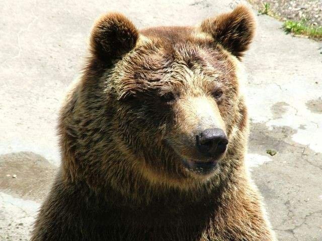 """Ministrul Mediului va emite un ordin care da posibilitatea uciderii a peste 140 de ursi, """"indiferent de cate mitiguri vor fi"""""""