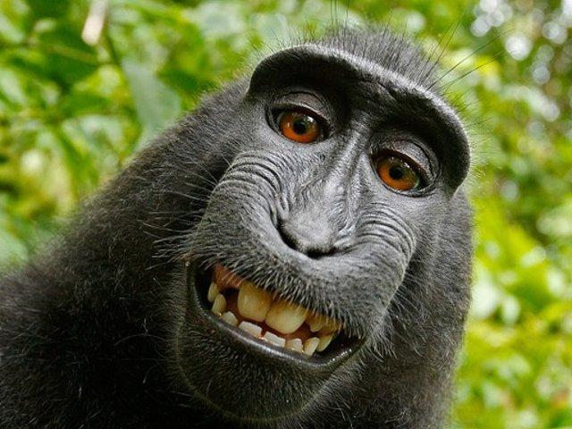 Un fotograf si o maimuta s-au judecat pentru drepturile de autor asupra unui selfie celebru. Cine a castigat procesul