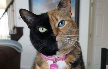Frumusete in stare pura! 10+ pisici cu forme ciudate pe blana