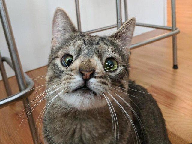 Maya, pisicuta cu un cromozom in plus, si-a gasit o familie
