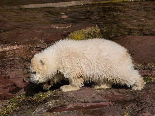 Un pui de urs polar, descoperit la o distanta de 700 de kilometri de habitatul sau