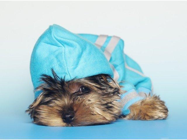 Acesti catelusi din rasa Yorkshire Terrier sunt adorabili! 10 imagini care te vor face sa iti doresti unul