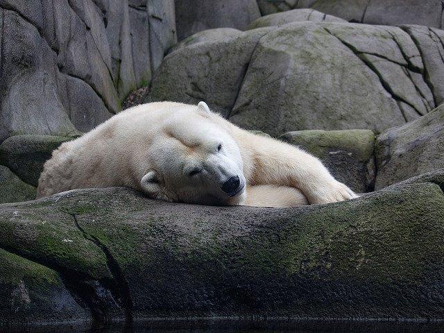 S-a nascut primul pui de urs polar din ultimul sfert de secol din Marea Britanie