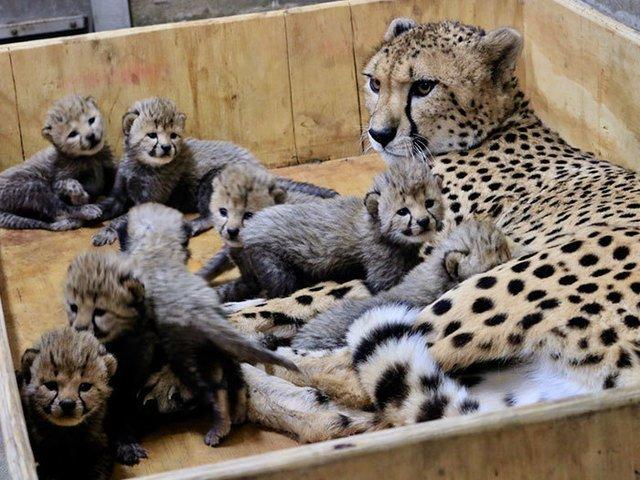 Nastere record la o gradina zoo din SUA: un ghepard a adus pe lume 8 pui / VIDEO