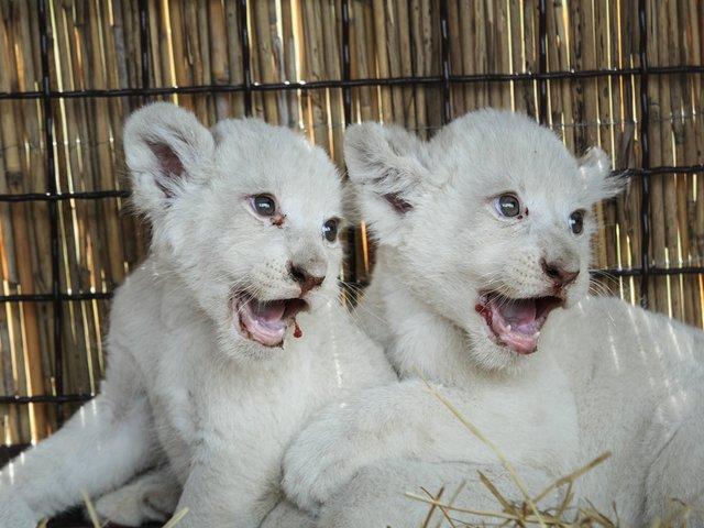 [FOTO] Aceasta este cea mai adorabila familie de albinosi. Sunt pufosi, albi si iti vor topi inima