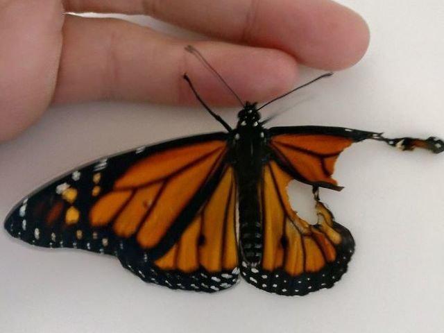 [FOTO] A operat aripa rupta a unui fluture. Ce s-a intamplat apoi