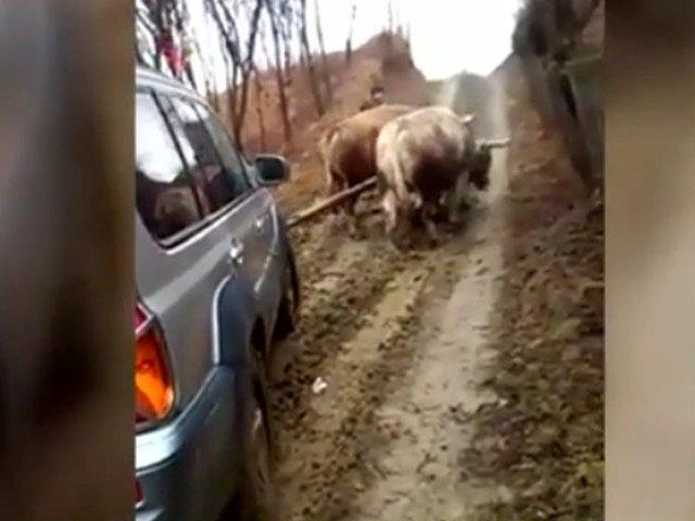 O lauza a fost dusa la medic cu o masina trasa de boi / VIDEO