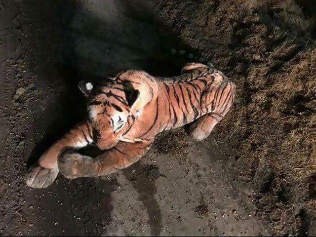 [FOTO] Un tigru de plus a pus pe jar un intreg echipaj de politie