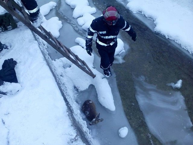 Pui de caprioara, salvat de la moarte de pompierii suceveni