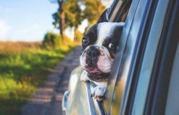 10 reactii amuzante ale cainilor care descopera ca nu sunt dusi la plimbare, ci la veterinar