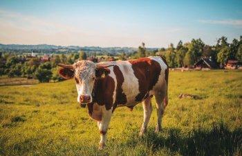 Cum ar arata viata pe pamant daca nu ar exista vacile?