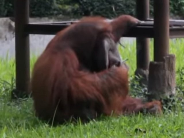 Indonezia: Un barbat i-a aruncat o tigara aprinsa unui urangutan de la Zoo / VIDEO