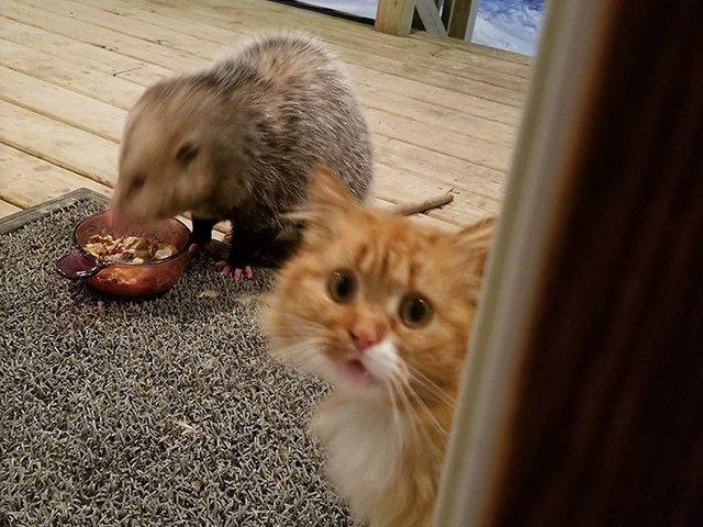 [FOTO] Reactia adorabila a unei pisici atunci cand un oposum ii fura mancarea