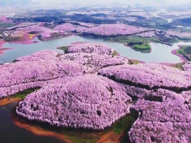 [VIDEO] Spectacolul naturii: imagini superbe cu ciresii infloriti in China