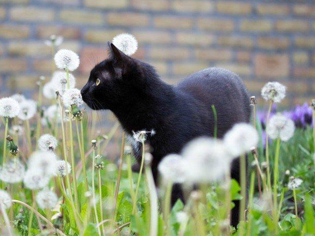 9 lucuri fascinante despre pisicile negre