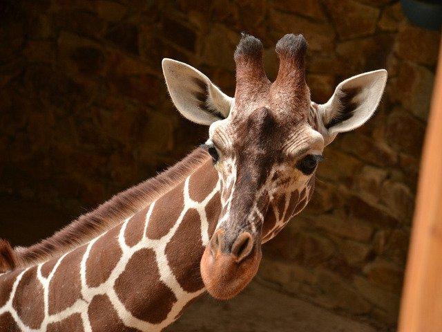 Cineast ucis de o girafa pe platoul de filmare