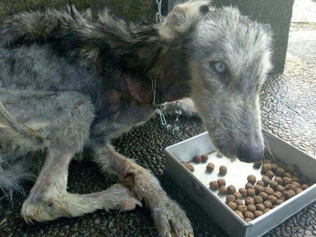 Un Husky aflat pe moarte a fost tratat cu dragoste si atentie. Transformarea incredibila