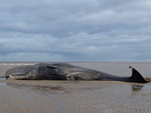 O balena esuata a murit pe o plaja din Thailanda, cu 8 kilograme de plastic in stomac