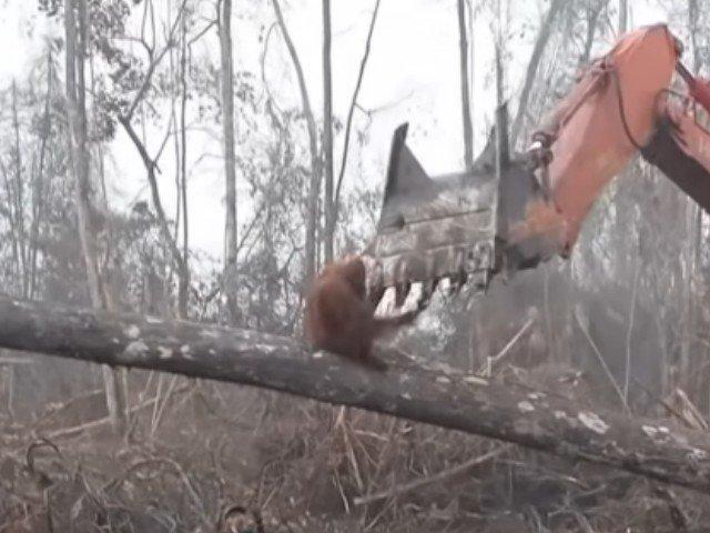 Un urangutan se lupta cu un buldozer sa isi salveze casa / VIDEO