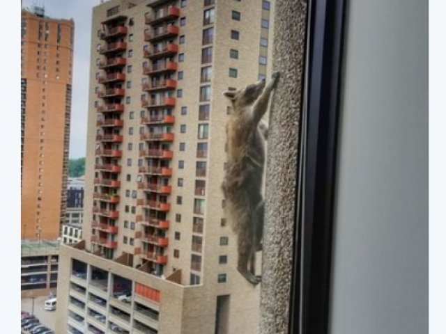 Un raton curajos a devenit vedeta urcand un zgarie-nori / VIDEO