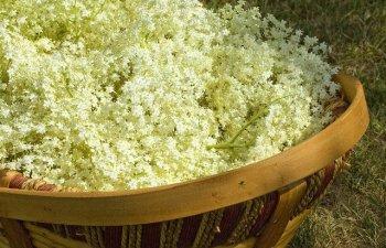 Trateaza numeroase probleme de sanatate. 9 beneficii ale florilor de soc