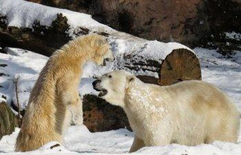 Imagini care demonsteaza cat de grava este poluarea: ursi polari, surprinsi cand se joaca cu plastic