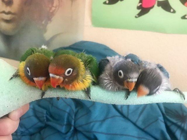 Internetul s-a indragostit de o pereche de papagali care are patru pui
