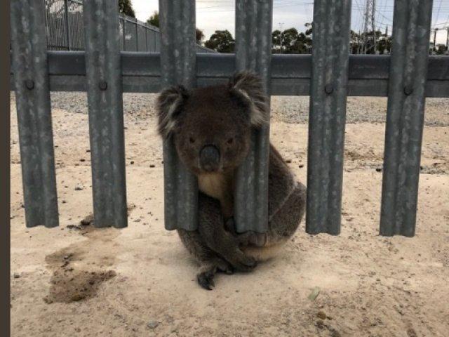 Un urs koala a ramas blocat intr-un gard: imagine amuzanta cu salvarea lui