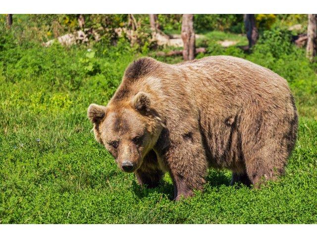 Un barbat a fost atacat de urs in cort la Busteni, pe Valea Cerbului